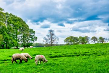 Galway sheeps