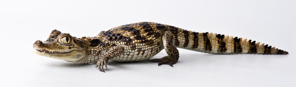 young crocodile on a white background