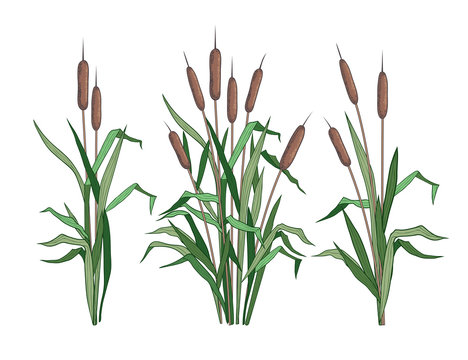 . Set of various colored images of bulrush.   Clipart.Vector templates of various narrowleaf cattails. Illustration of nature. .