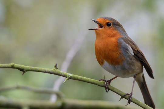 Close-up Of Robin Perching On Twig