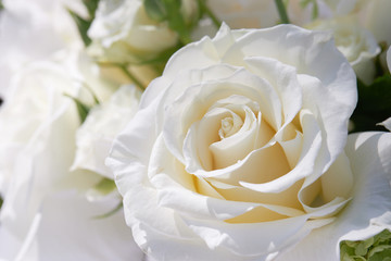 Fotobehang Roses Dew on the petals of a white rose. Fresh flowers in a summer cottage