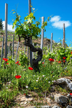 Green grapevine dominating the stone wall surrounded by red poppies at french Cornas vineyard.