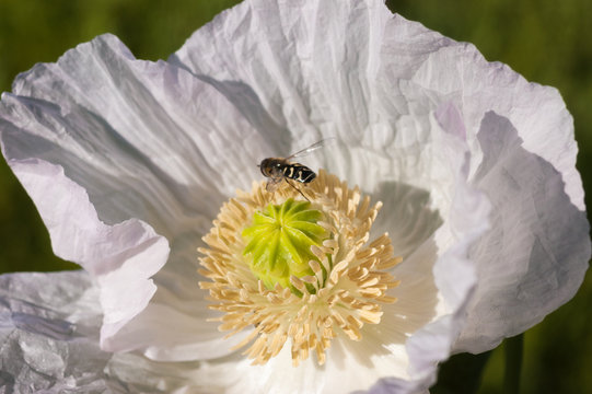 Close-up of a brown and yellow insect on a beautiful white poppy