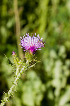 Beautiful purple thistle in the field with a green background