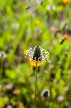 Nice detail closeup of flower of a medicinal plant with a green grass background