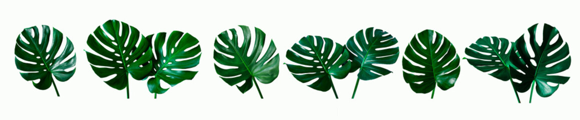 Wall Mural - set of green monstera tropical plant leaf on  white background for design elements, Flat lay