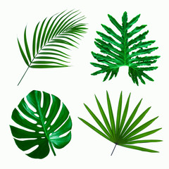 set of green monstera palm and tropical plant leaf on  white background for design elements, Flat lay