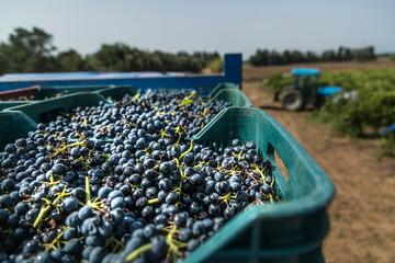 dettaglio dell'uva appena racconta nelle ceste di plastica  durante la  vendemmia