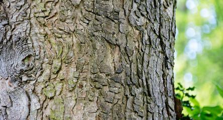 Fototapeta Kora - historia drzewa obraz