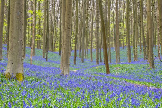 Tree Trunks Amidst Bluebell Flowers On Field At Forest