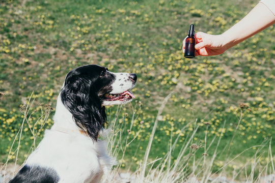 Smiling dog looking at the bottle of CBD tincture