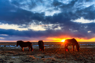 Iceland, Icelandic horses grazing at dramatic sunset in summer