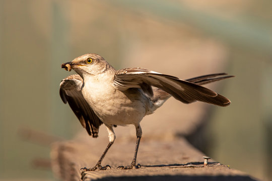 Northern Mockingbird (Mimus Polyglottos) carries a worm back to its young