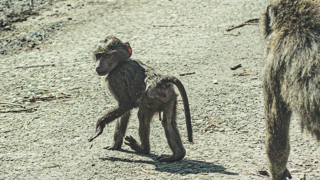 Baby monkey looking back at camera