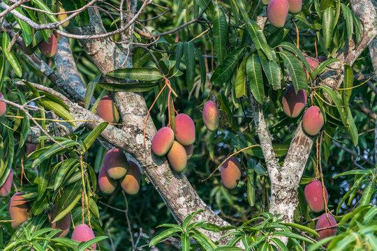 beautiful mango tree full of mangoes
