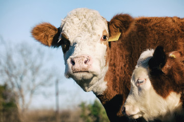 Wall Mural - Hereford cattle shows cow looking at camera with calf close up on beef farm, agriculture concept.