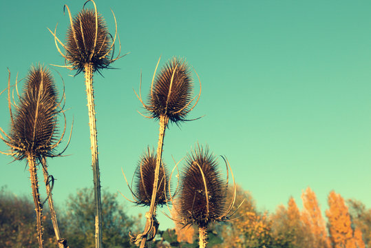 Low Angle View Of Dry Thistle Against Clear Blue Sky