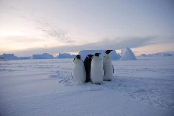 Fototapeta penguins on the snow obraz