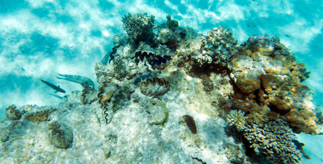 Giant tridacna and coral in the sea