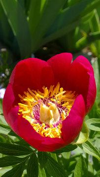 Spring Peony