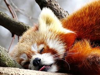 Close-up Of Red Panda Sleeping