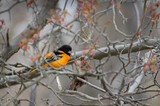 Baltimore Oriole trying to hide in the tree tops
