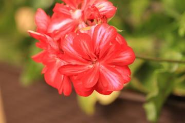 Obraz czerwony  kwiat  w  ogrodzie - fototapety do salonu