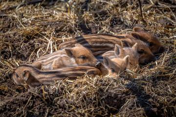 Frischlinge Wildschweine gestreift
