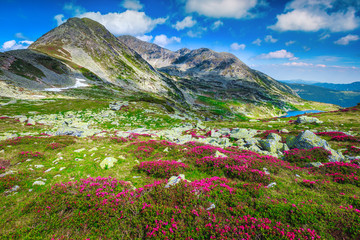 Fototapete - Flowery slopes with pink rhododendrons and mountain lake, Carpathians, Romania
