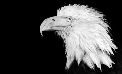 Black and white portrait of an american bald eagle head, Juneau, Alaska, United States of America.