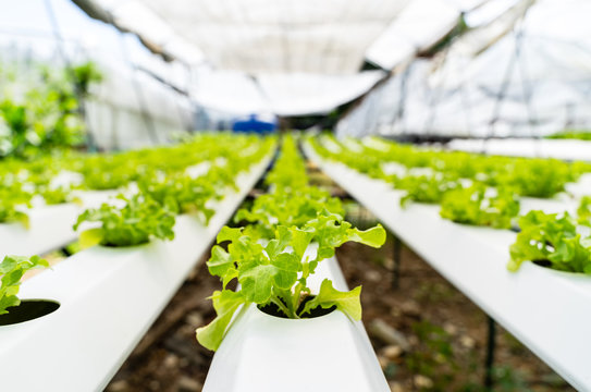 Hydroponics vegetables Green oak lettuce growing in plastic pipes at Smart farms with hydroponics systems are modern farming for healthy and quality in smart agricultural and smart farming concepts.