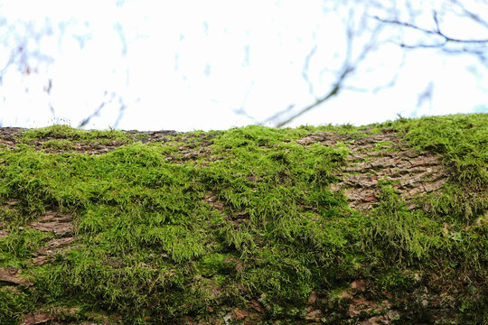 Horizontal tree trunk with green moss as natural display, closeup, space