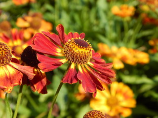 Red coneflower in full bloom on a bright flower meadow in summer as closeup