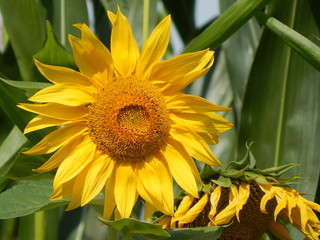 Closeup of a yellow sunflower in summer, illuminated by the bright sunlight