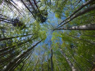Obraz Bukowy Las - korony drzew - fototapety do salonu