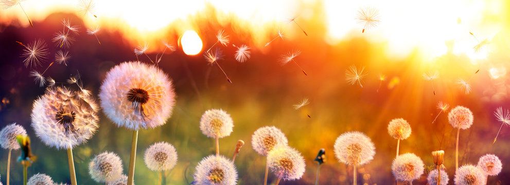 Dandelion Field With Flying Seeds At Sunset