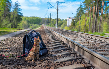 A Bengal cat sits next to a backpack on the railway and looks up with interest.