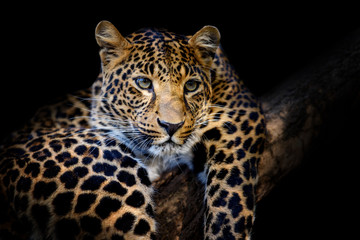 Fototapete - Close up angry big leopard isolated on black background