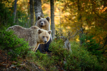 Garden Poster Countryside Two big brown bear in the forest. Dangerous animal in natural habitat. Wildlife scene
