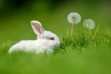 Wall Mural - Funny  little white rabbit on spring green grass