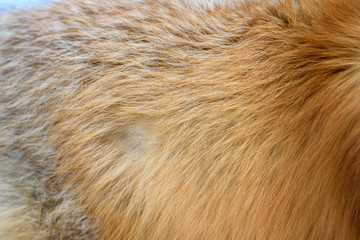 Fototapete - Red fox skin texture for background (real fur)