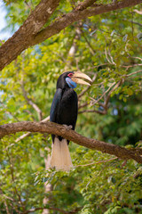 Great hornbill (Buceros bicornis) is one of the larger hornbill family