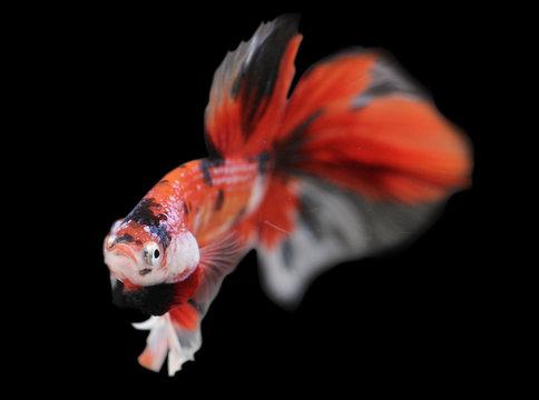 Betta  Red Koi HM Halfmoon  Male or Plakat Fighting Fish Splendens On Black Background.