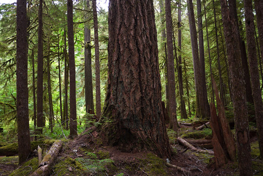 Amazing nature forest view at Olympic National Park in Washington, USA.