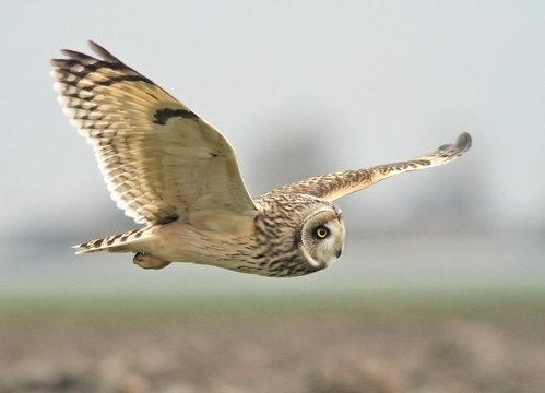 Short-eared Owl Flying Against Sky