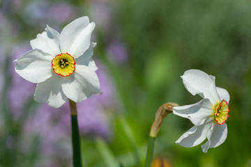 Wall Mural - White narcissus bloomed