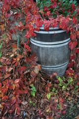 old wood wine barrel framed by bright red vine autumn leaves