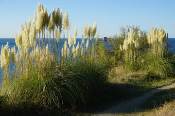 wild tall fluffy grass in the wind on the edge of a cliff by the ocean on a sunny day