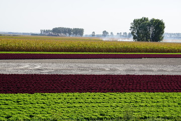 rows of colorful red and green salads next to a corn field in the country