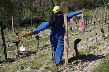 made up scarecrow in between the rows of vine in the Loire valley, France